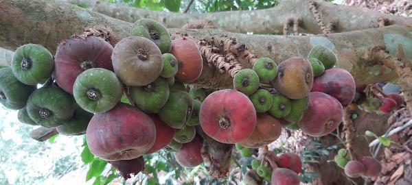 fig fruit from our kalari farm