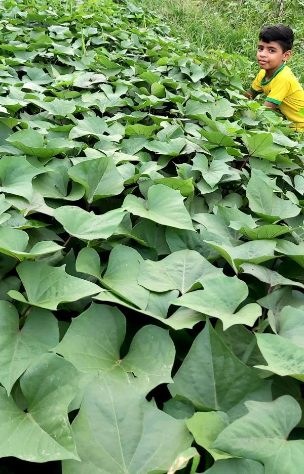 sweet pottato in kalari farm